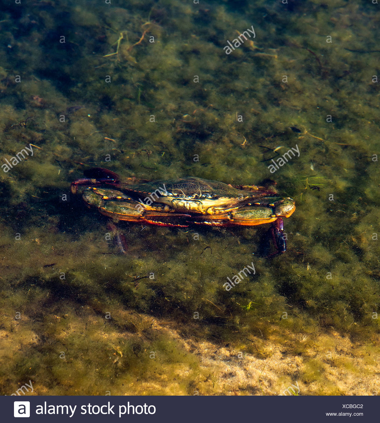 Live crab in shallow water. - Stock Image