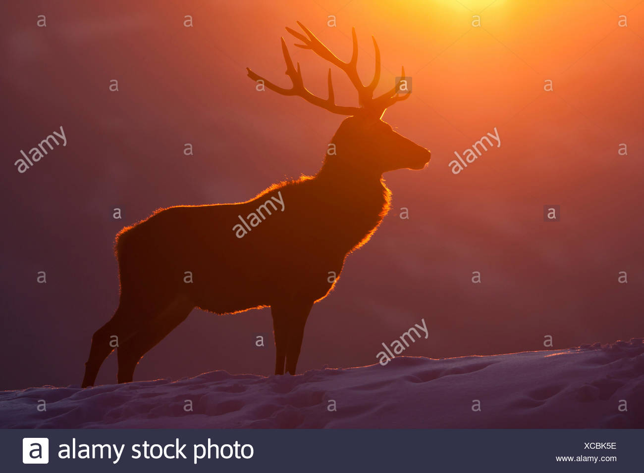 red deer (Cervus elaphus), silhouette of a bull in front of winterly sunset, Austria, Vorarlberg - Stock Image