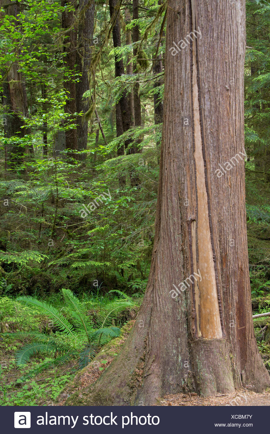 Golden Spruce trail, Port Clements, Culturally modified cedar tree, Haida Gwaii, formerly known as Queen Charlotte Islands, British Columbia, Canada - Stock Image