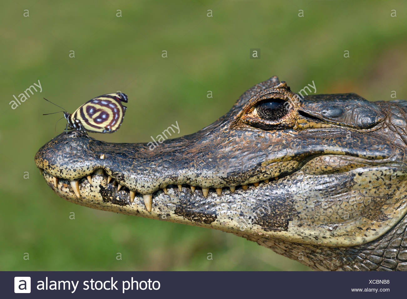 Yacare Caiman (Caiman yacare) with butterfly (Paulogramma pyracmon) resting on its snout, Pantanal, Brazil. - Stock Image