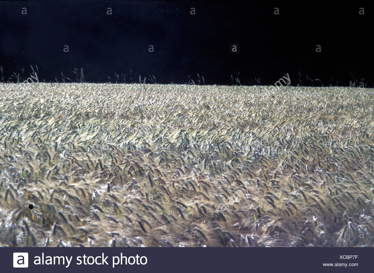 Barley field black sky - Stock Image