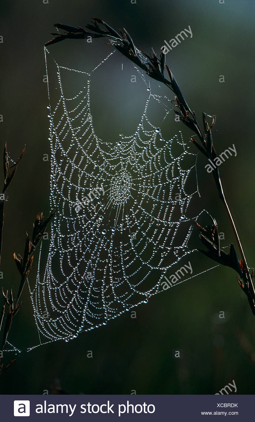 Spider web covered in dew hanging from grass, Midlands, KwaZulu-Natal Province, South Africa Stock Photo