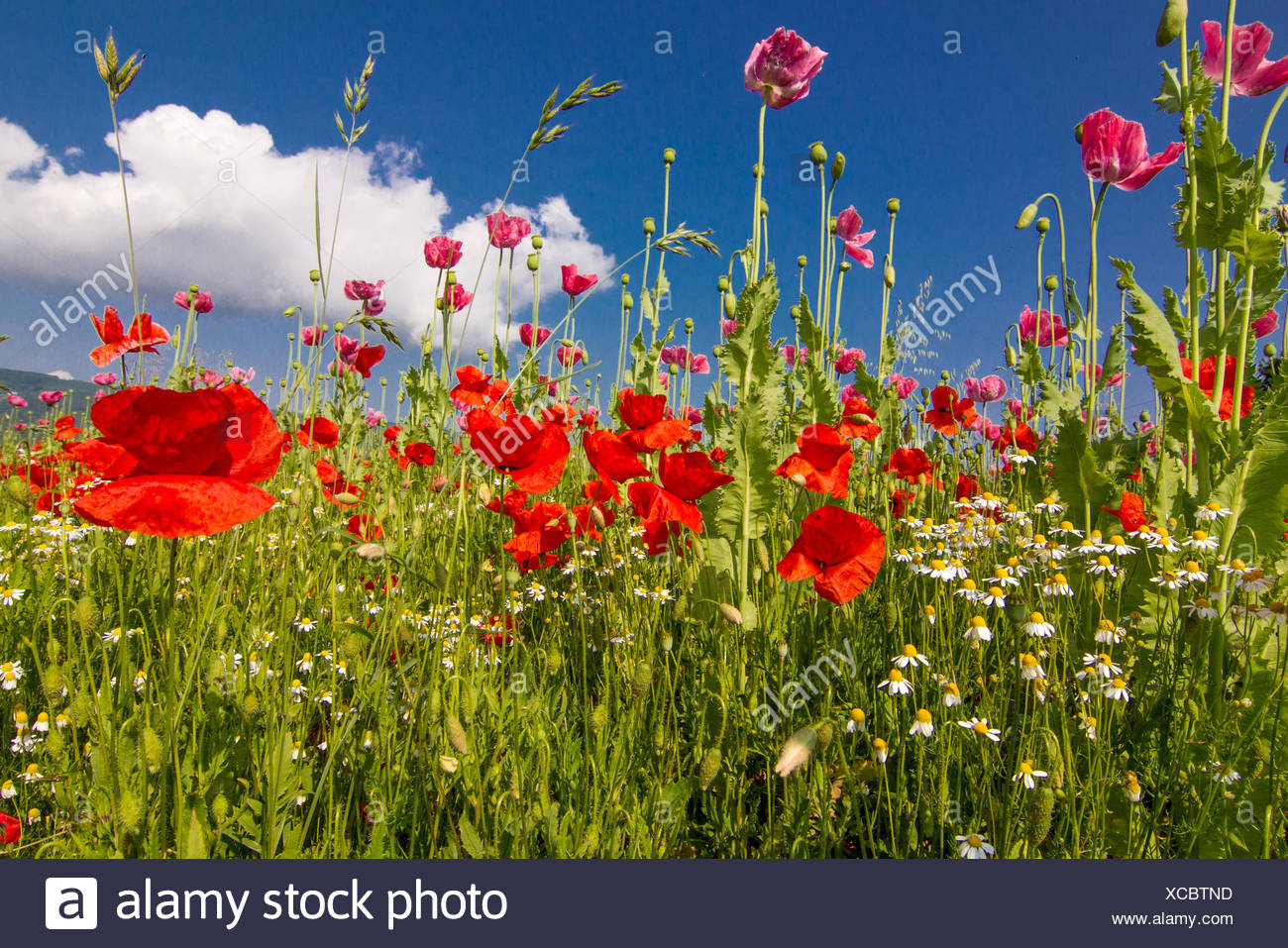 corn rose and Opium poppy Stock Photo