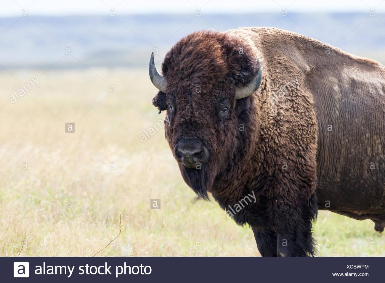 Plains bison (Bison bison bison), bull, Grasslands National Park, Saskatchewan. Stock Photo