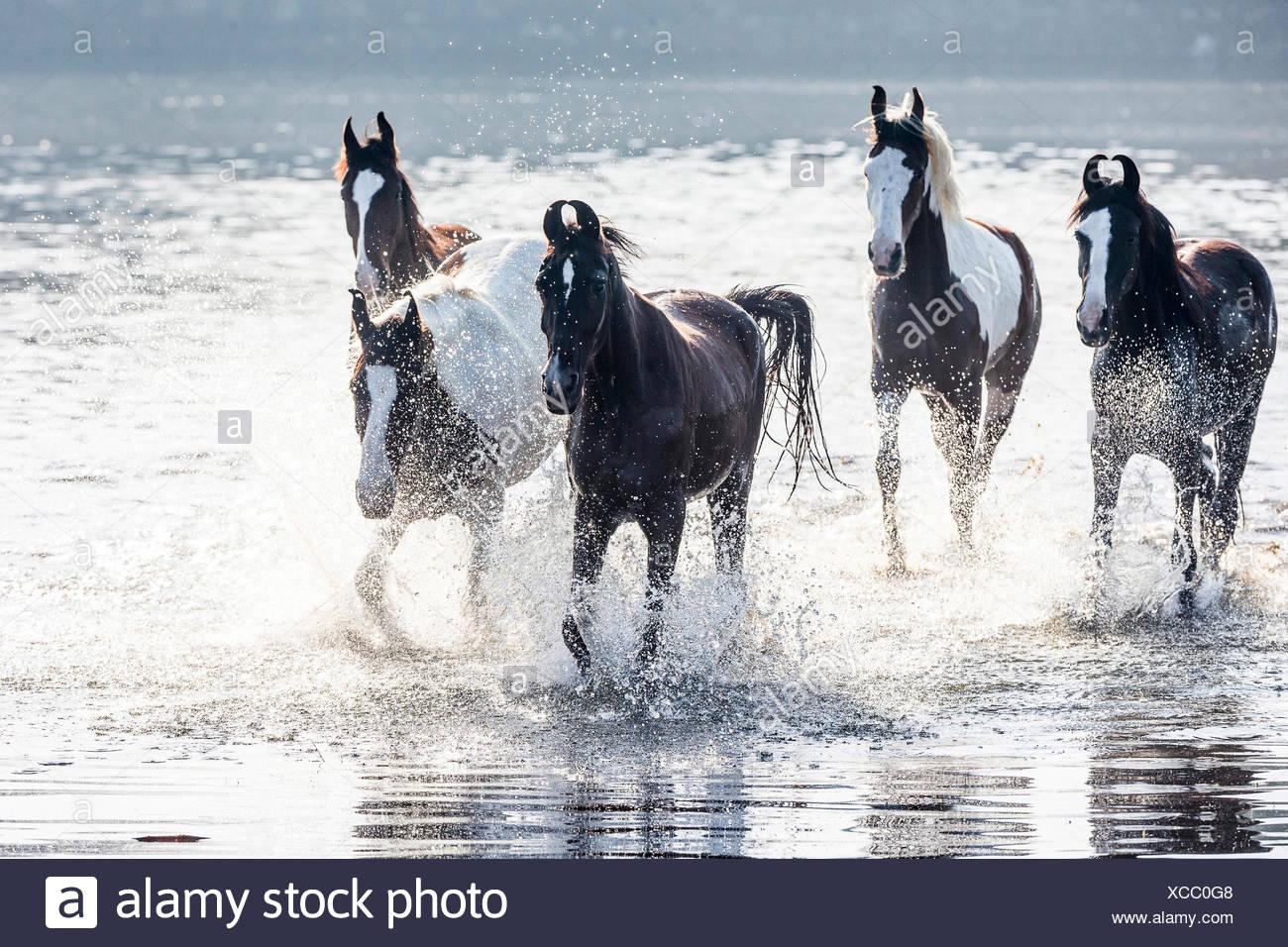Marwari Horse. Herd of mares trotting in water. India - Stock Image