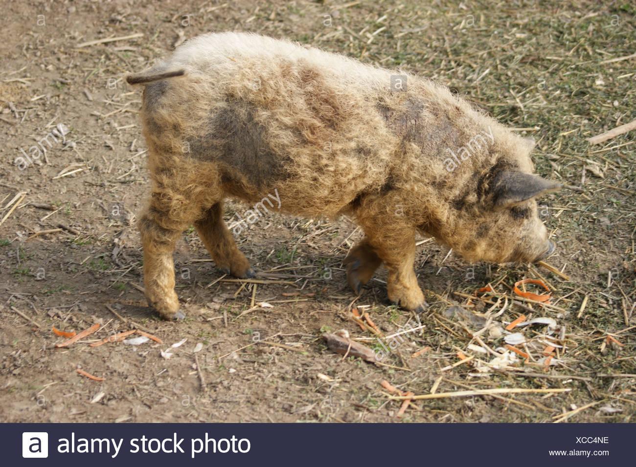Hungarian mangalitsa pig, a very curly haired animal - Stock Image