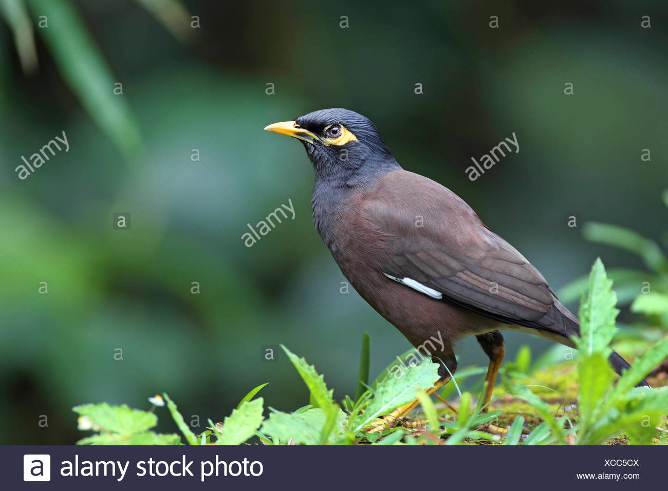 common mynah (Acridotheres tristis), stands on the ground, Seychelles, Mahe - Stock Image