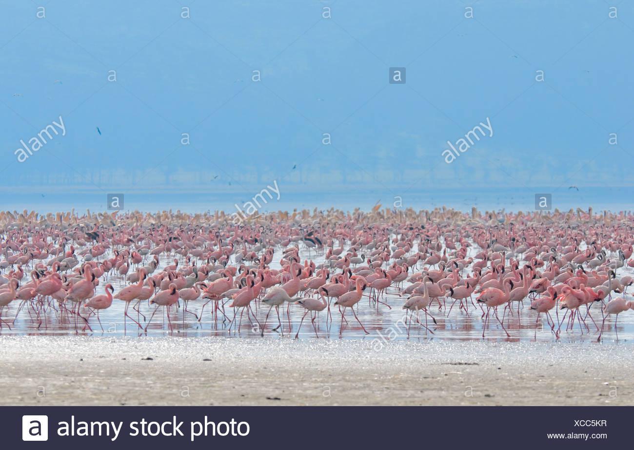 flocks of flamingo - Stock Image