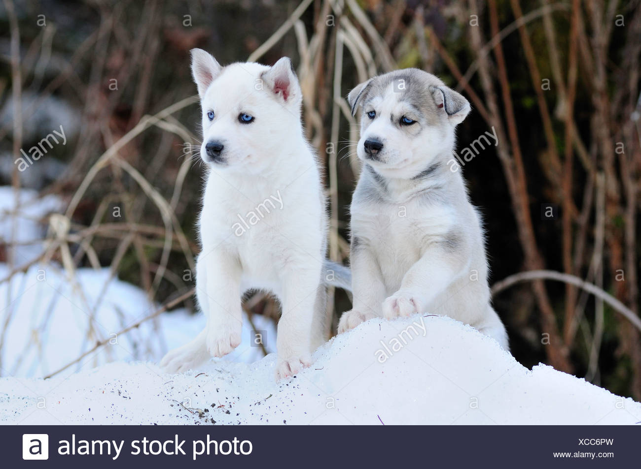 Six week old purebred Siberian Husky puppies in the snow at Bright Angel Park, Cowichan Station, BC. - Stock Image