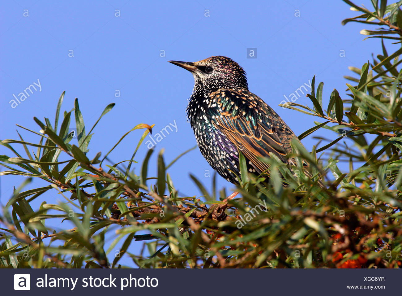 European starling (Sturnus vulgaris) sitting in a sea buckthorn bush (Hippohae rhamnoides) Stock Photo