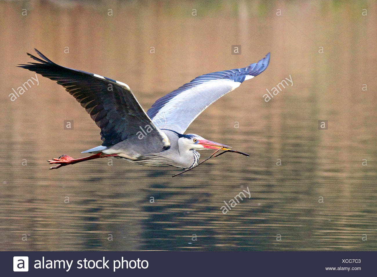 grey heron (Ardea cinerea), in flight, Germany - Stock Image