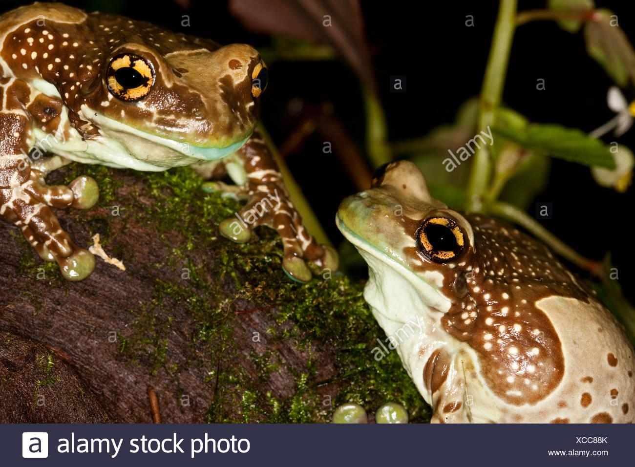 Amazon Milk Frog, phrynohyas resinifictrix, Adults - Stock Image