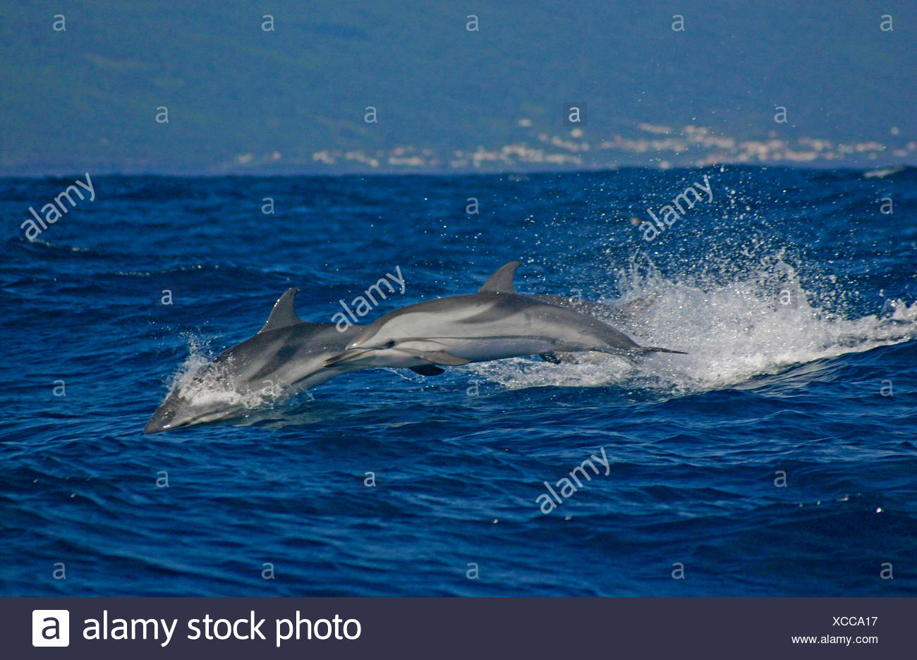 striped dolphin, blue-white dolphin, Euphrosyne dolphin (Stenella coeruleoalba), two dolphins jumping out of the sea, Portugal, Azores, Pico - Stock Image