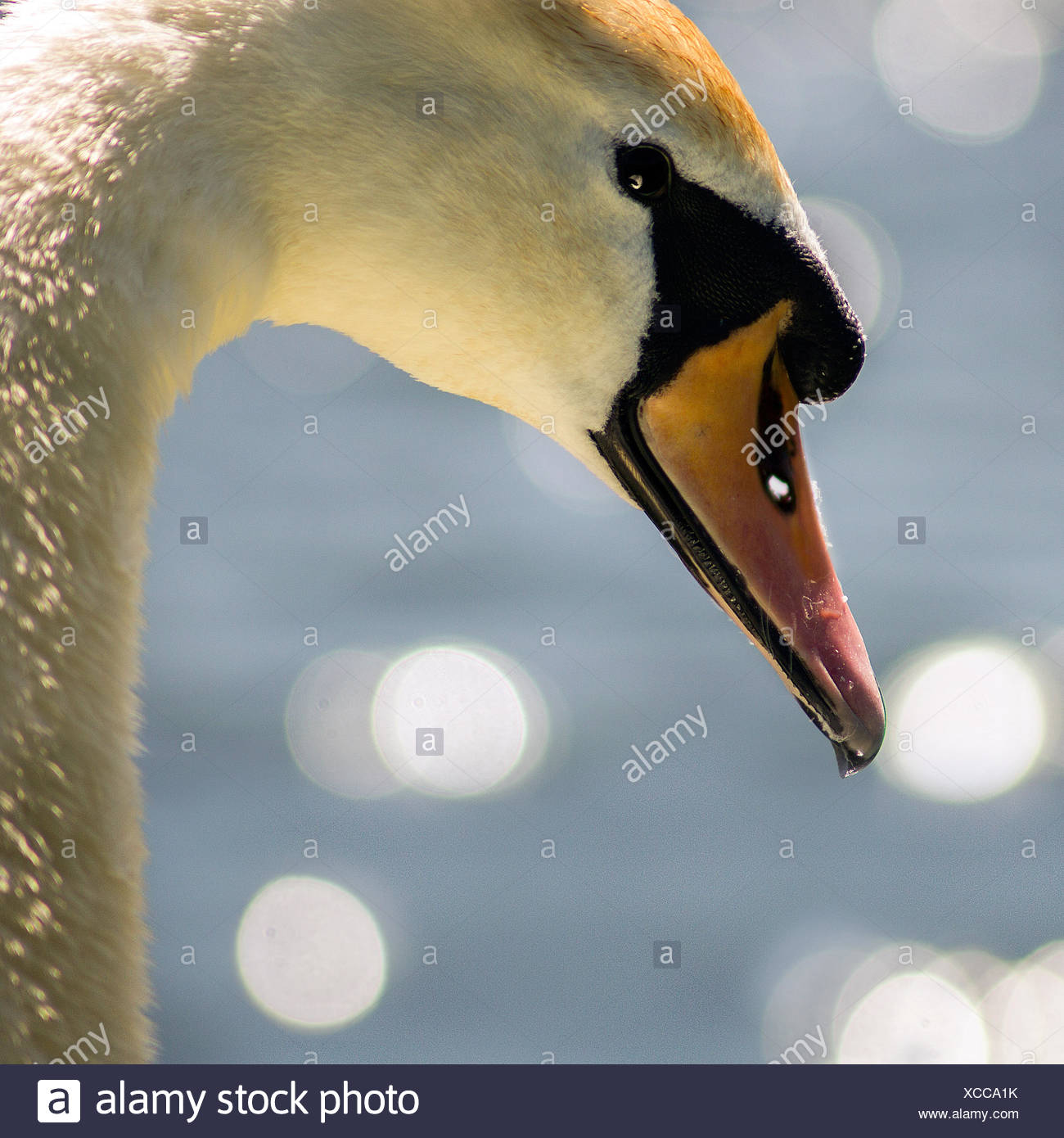 Close-up portrait of a swan - Stock Image