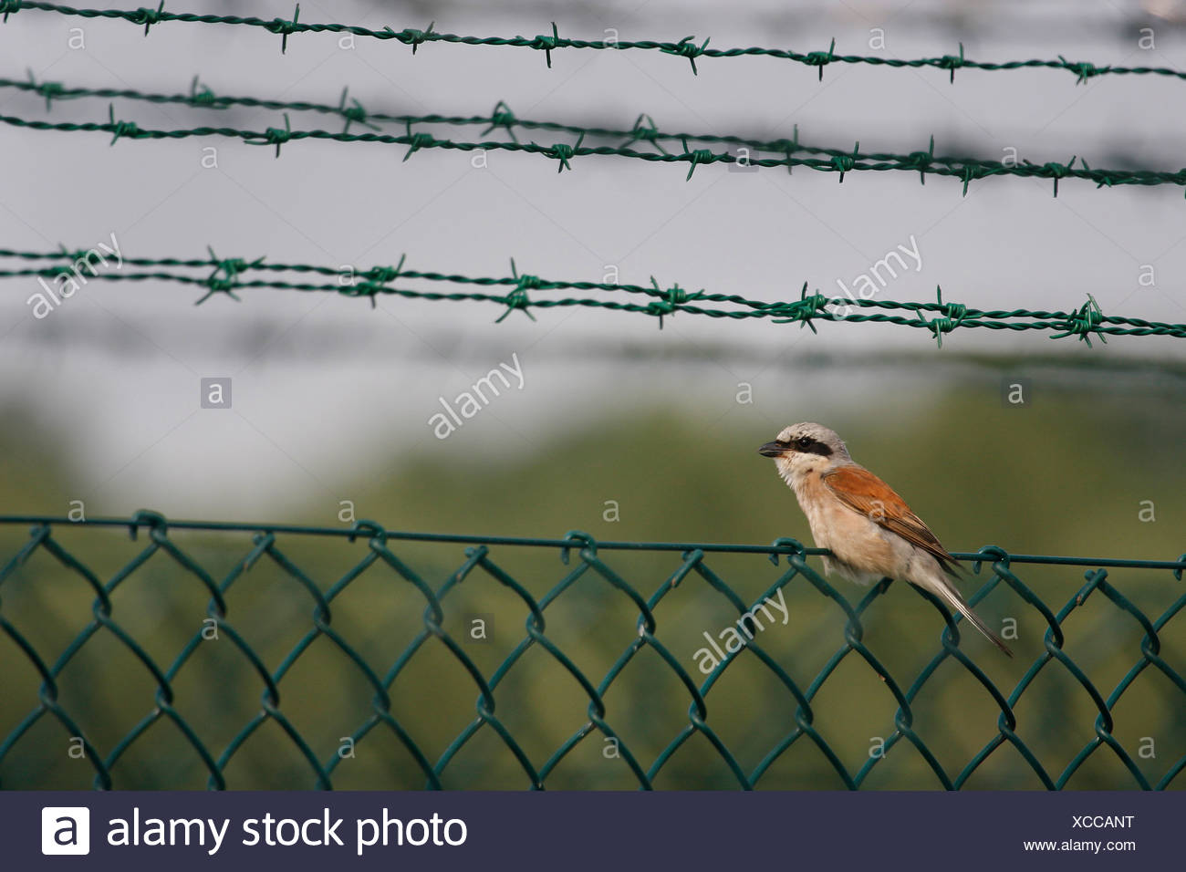 red-backed shrike (Lanius collurio), male sitting on a wire-mesh ...