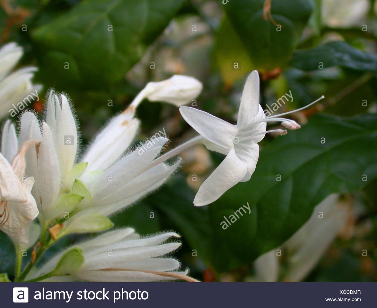 Whitfieldia (Whitfieldia elongata), blooming Stock Photo