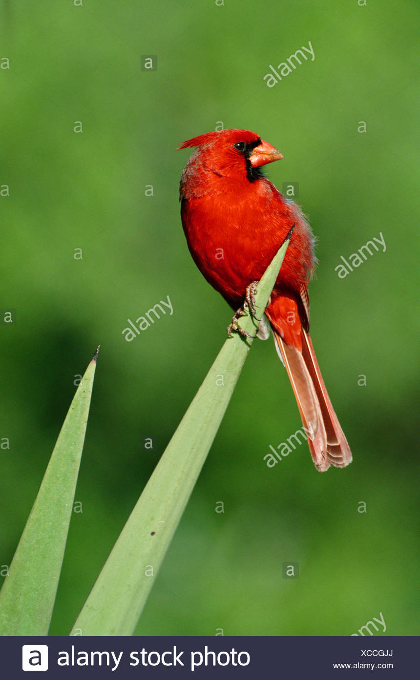 NORTHERN CARDINAL - Stock Image