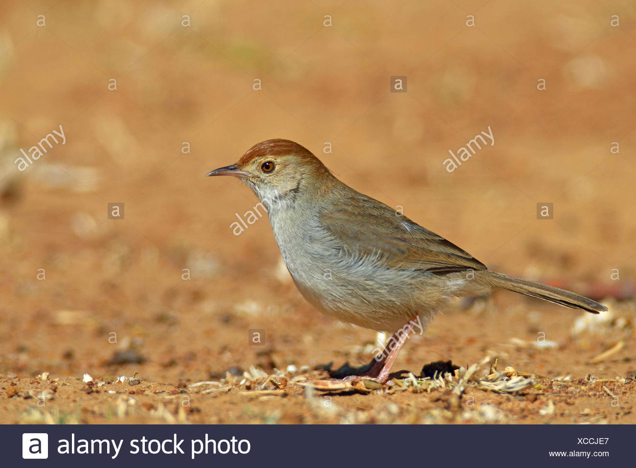 Piping cisticola (Cisticola fulvicapilla), standing on the ground, South Africa, North West Province - Stock Image