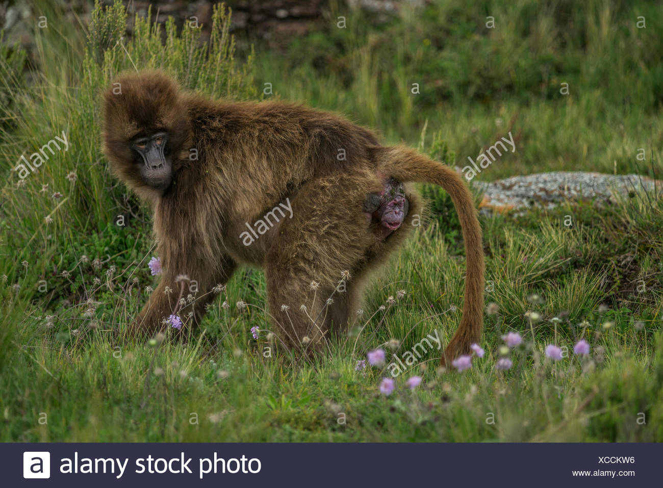When giving birth, geladas often isolate themselves to avoid aggressive behavior from other monkeys and remain silent in an effort to evade predators. - Stock Image