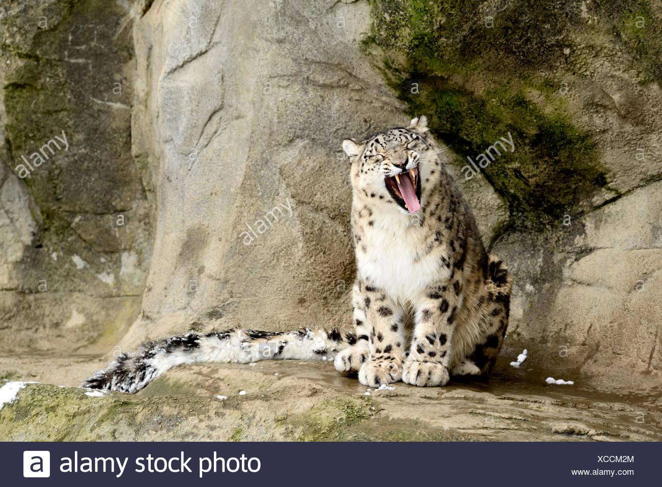 Snow Leopard (Panthera uncia) yawning, captive, Switzerland - Stock Image