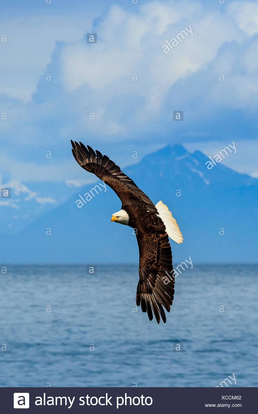 Bald Eagle, Haliaeetus leucocephalus, in flight along the shoreline in Cook Inlet, Alaska. - Stock Image