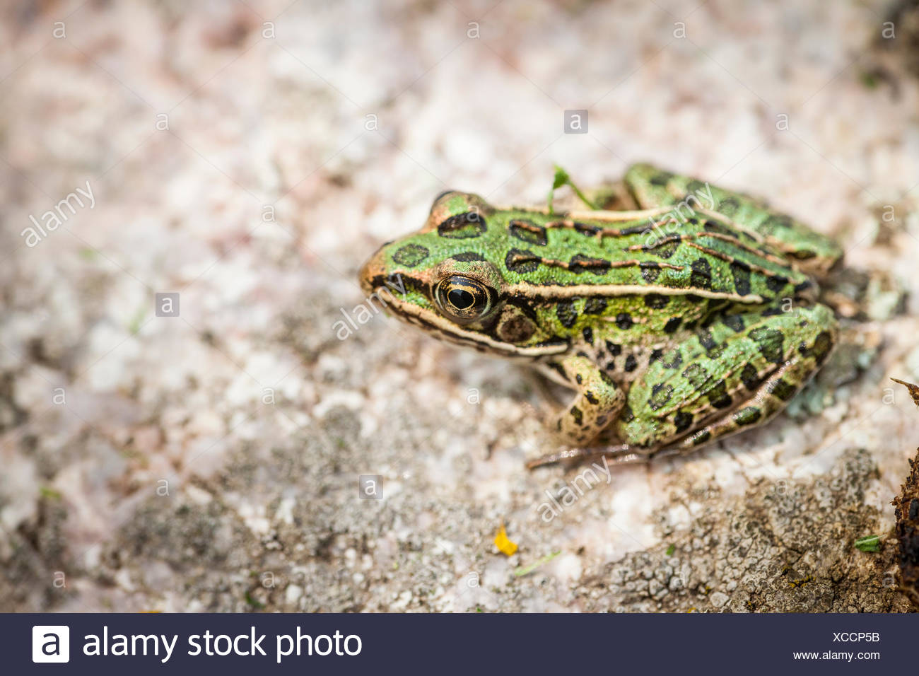 Northern Leopard Frog (Lithobates pipiens), Municipality of Gordon/Barrie Island on Manitoulin Island, Ontario, Canada - Stock Image