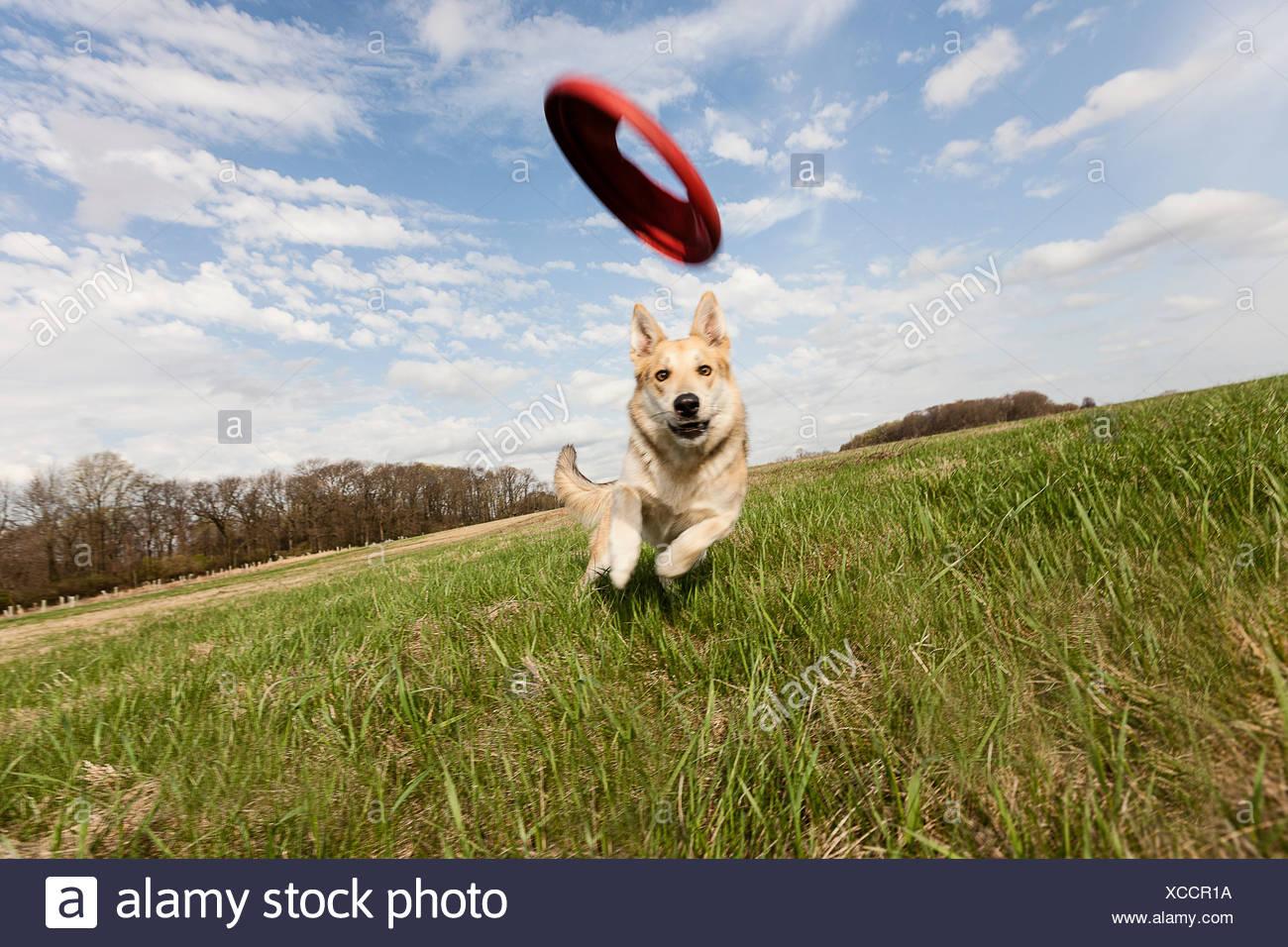 Alsatian dog running through field to catch frisbee - Stock Image