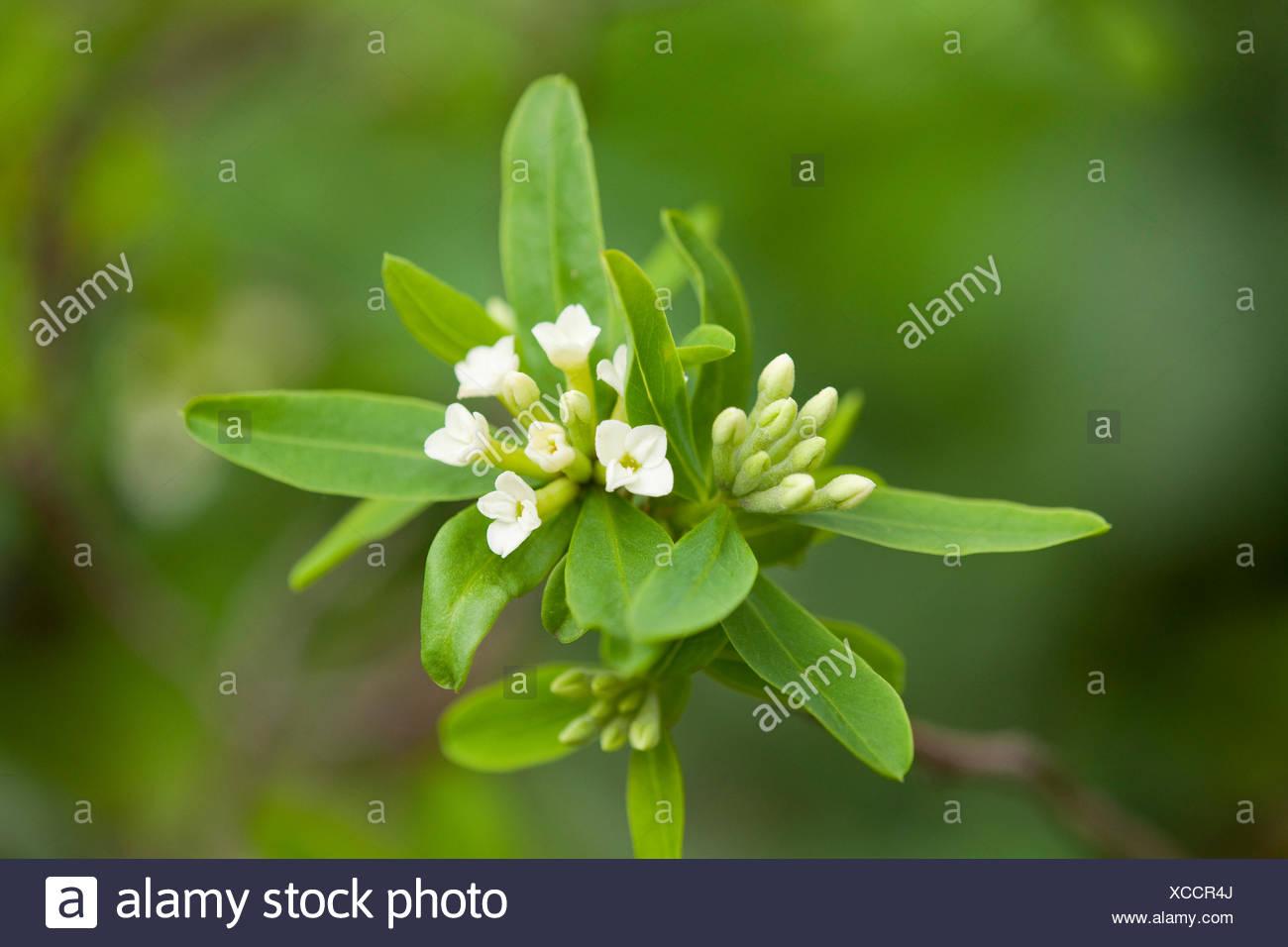Daphne axilliflora, flowering, Thuringia, Germany - Stock Image