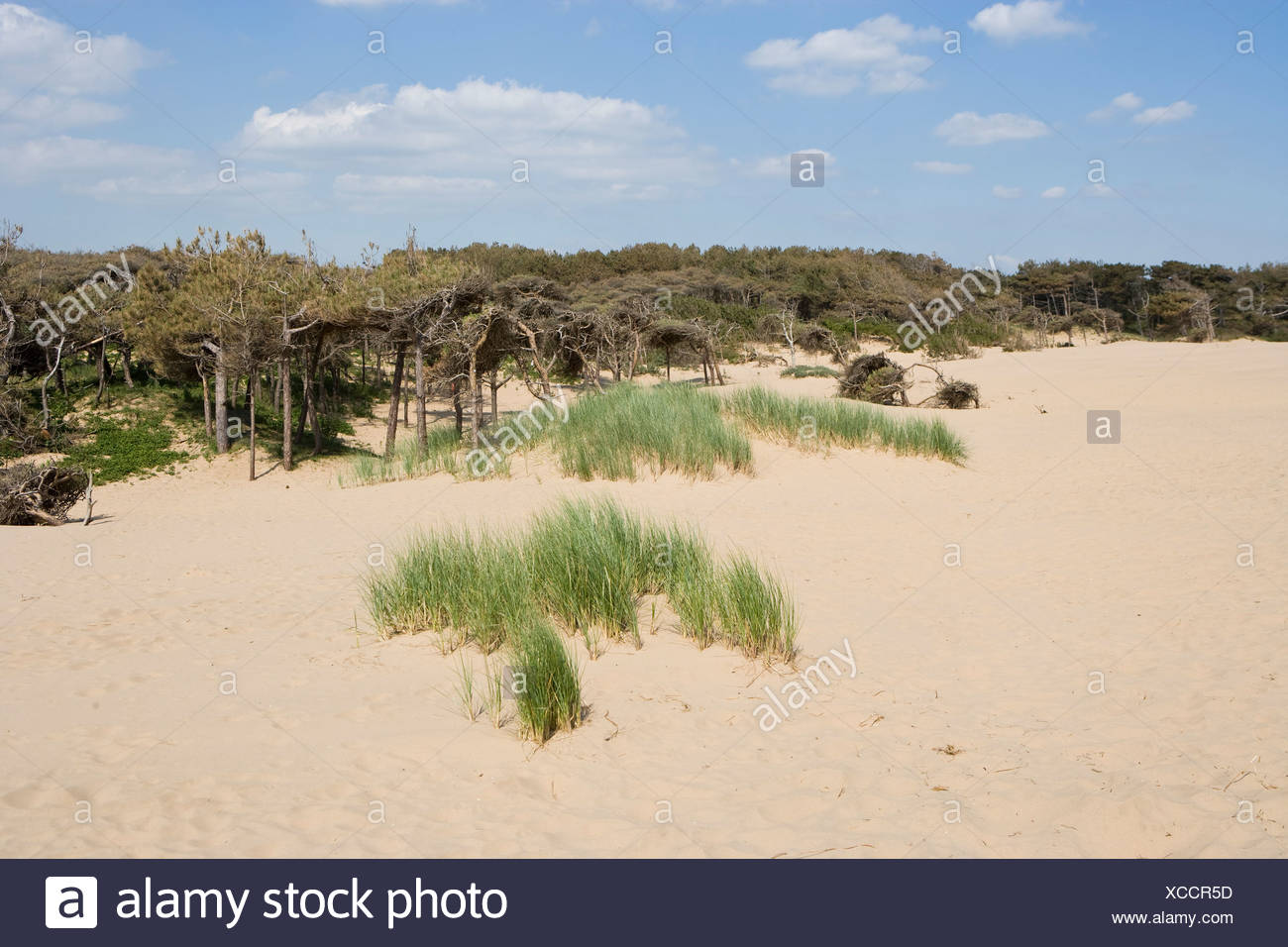 Mobile dunes with stunted pine forest and marram grass - Stock Image