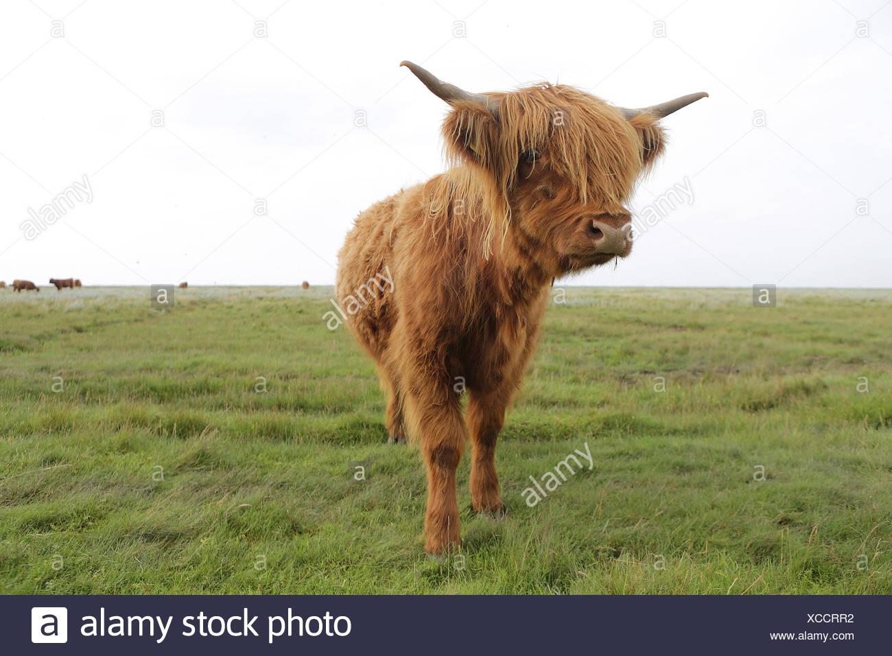 Germany, Lower Saxony, East Frisia, Langeoog, highland cattle Stock Photo
