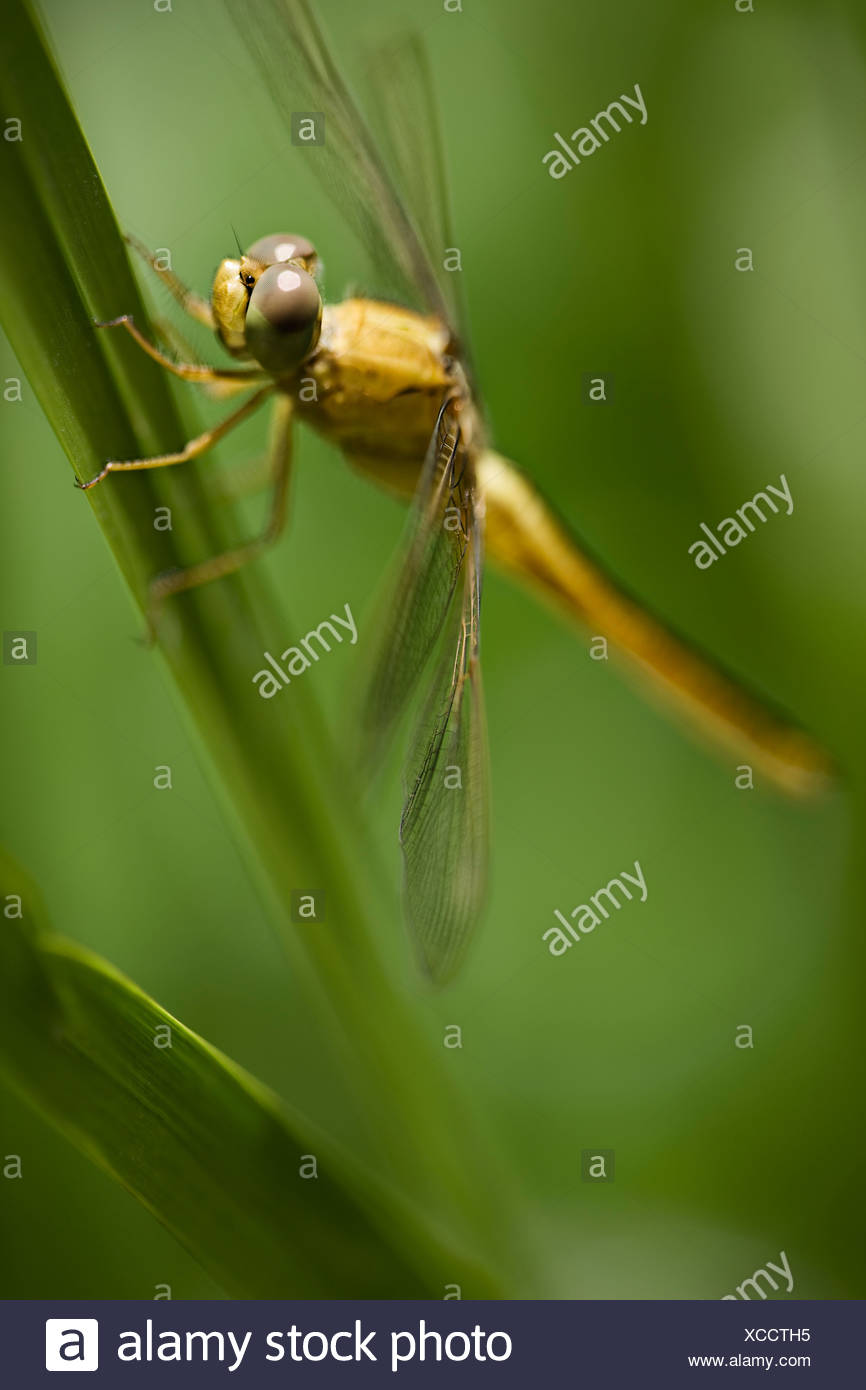 Close up of dragonfly on stalk - Stock Image
