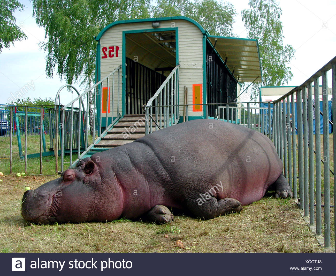 hippopotamus, hippo, Common hippopotamus (Hippopotamus amphibius), circus animal lying in the meadow bounded by a fence in front of its cage wagon: In Germany hundreds of wild animals are kept although a species-appropriate keeping is impossible in travelling enterprises. In Austria wild animal keeping is already prohibi, Germany, - Stock Image