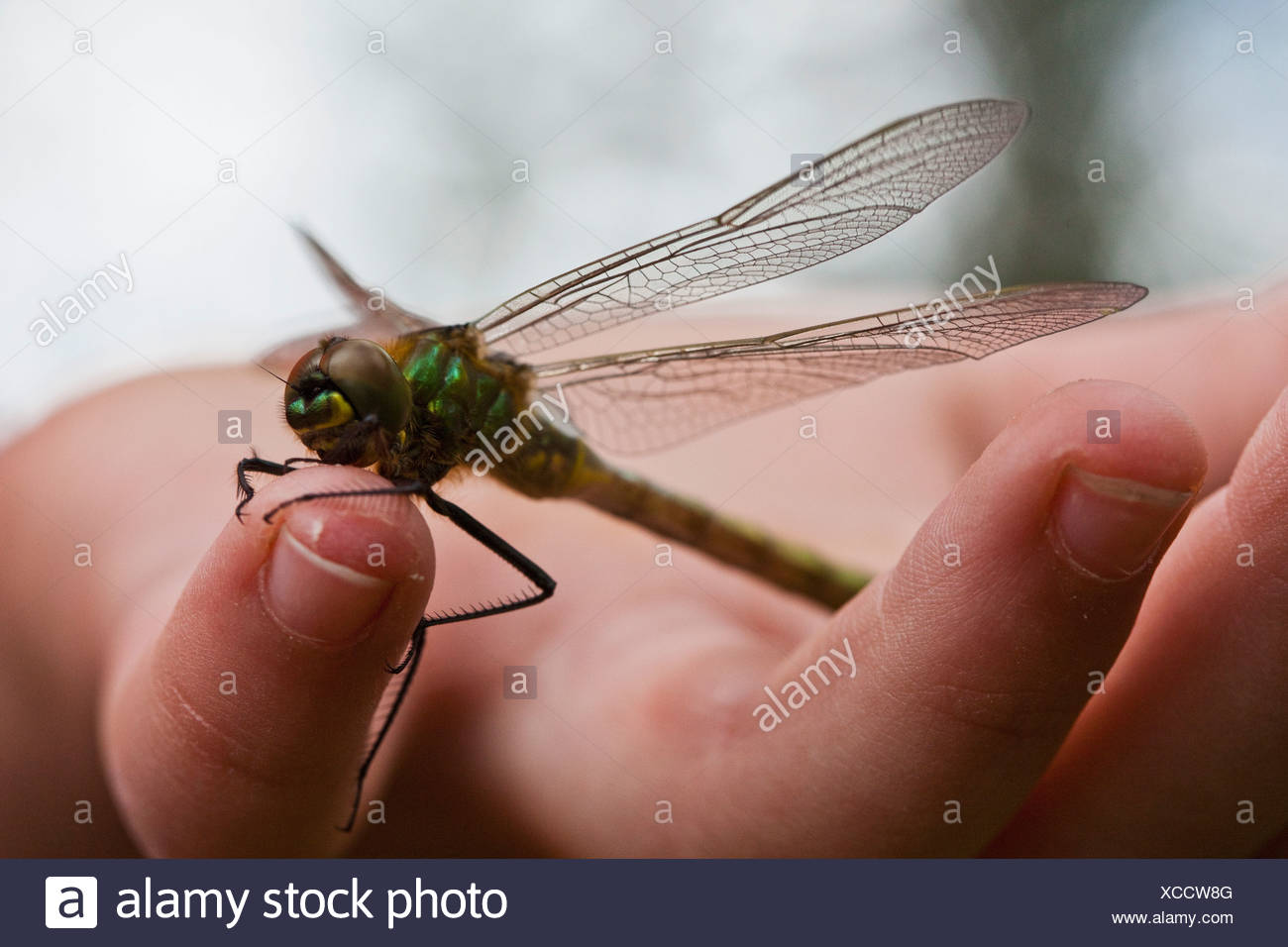 Dragonfly on finger - Stock Image