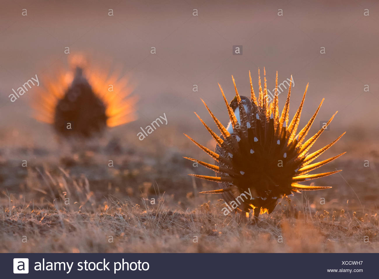 Sage Grouse males, Centrocercus urophasianus, dancing on their lek, Montana, USA - Stock Image