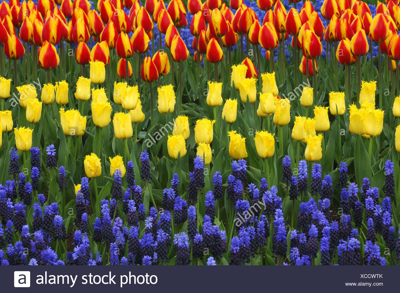 common garden tulip (Tulipa gesneriana), flowerbeds with garden tulips and common grape hyacinths, Muscari botryoides Stock Photo