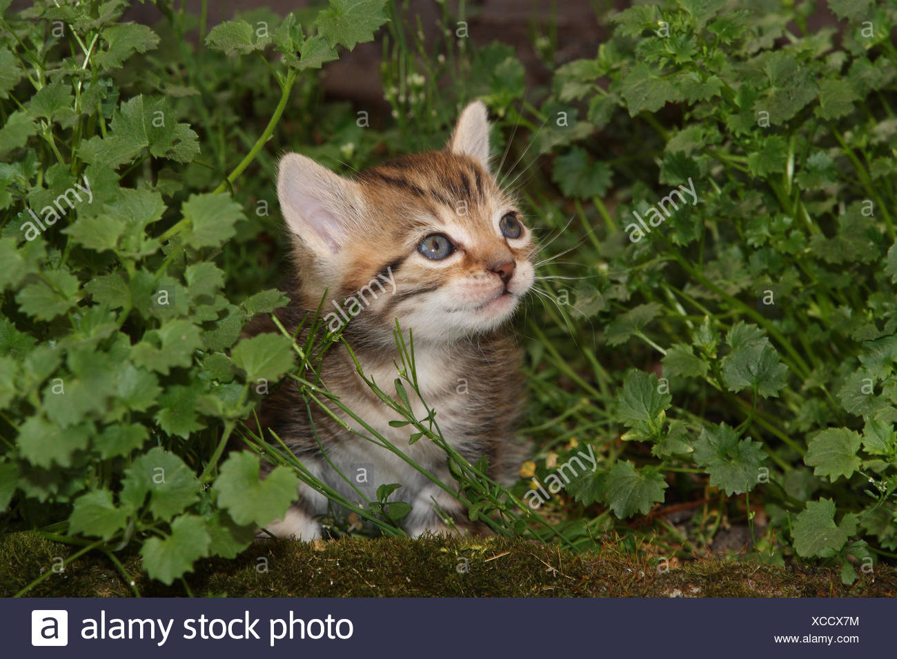 Cat, young, sit, meadow, garden, animals, mammals, pets, small cats, Felidae, domesticates, house cat, young animal, kitten, small, awkward, clumsy, helplessly, sweetly, hide, play, curiosity, striped, hervorschauen, plants, individually, only, young animals, animal baby, nature, outside, - Stock Image