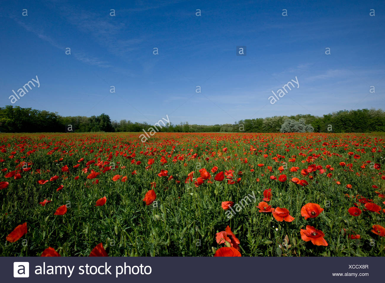 Corn poppy (Papaver rhoeas) flowers blooming in field, Hungary - Stock Image