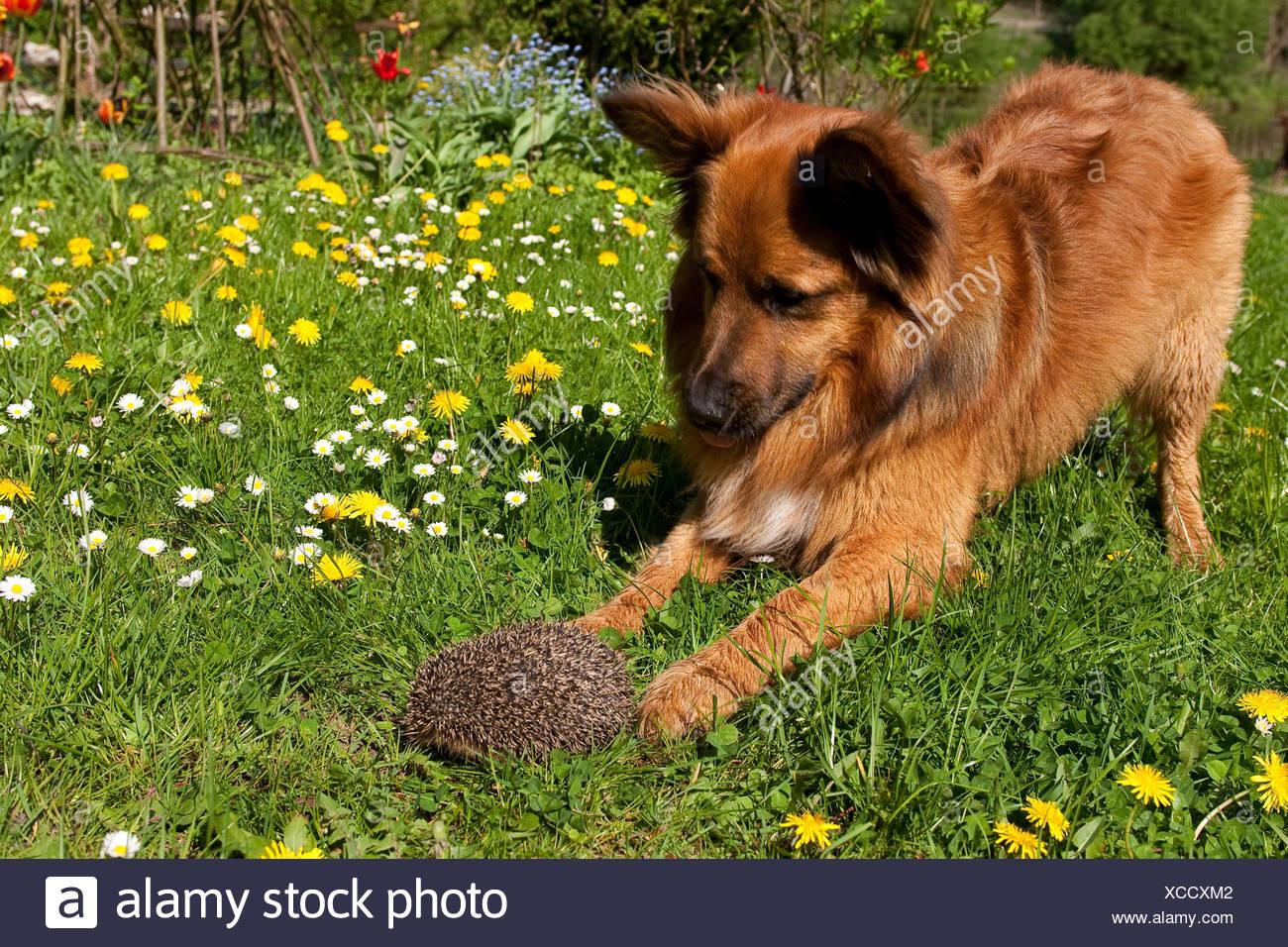 Western hedgehog, European hedgehog (Erinaceus europaeus), dog and hedgehog meeting in a meadow, Germany Stock Photo