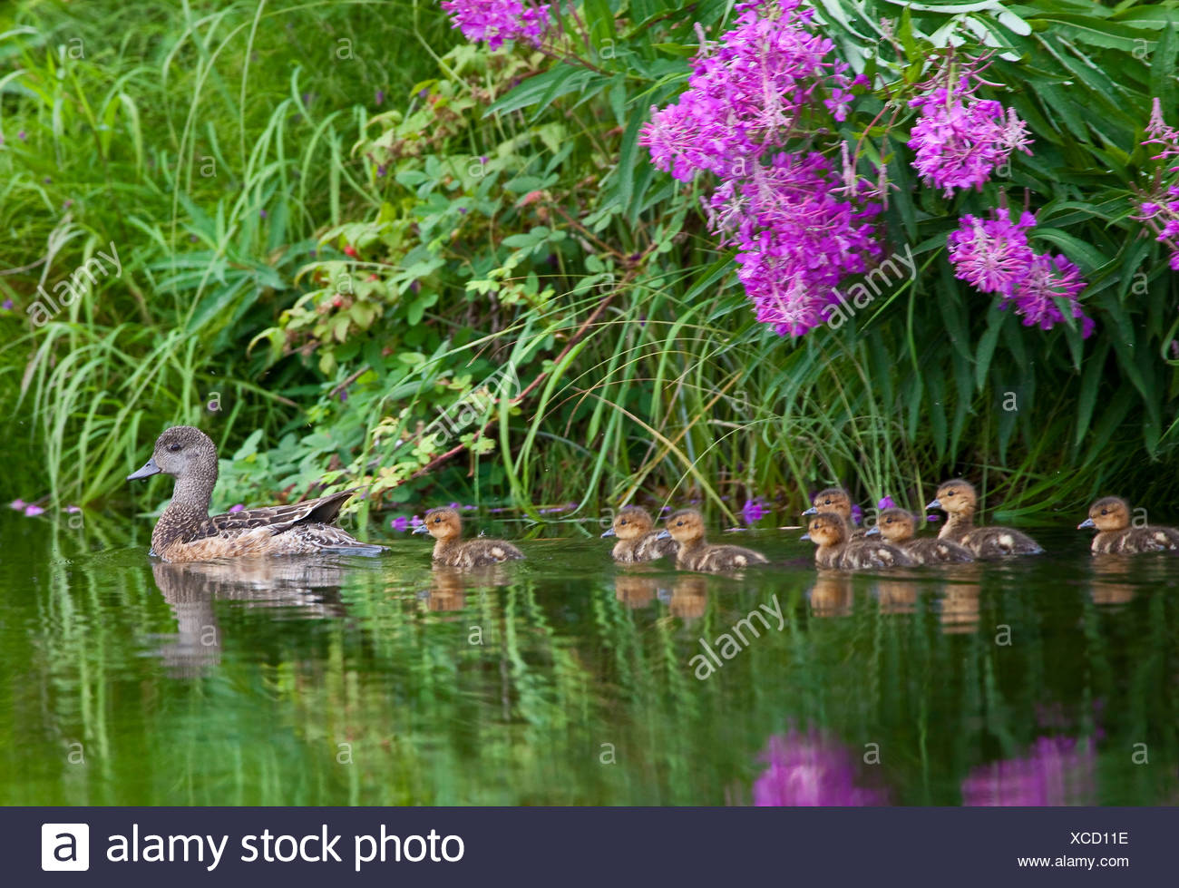 Alaska. American Wigeon ((Anas americana) brood swimming under fireweed wildflowers, southcentral alaska. - Stock Image