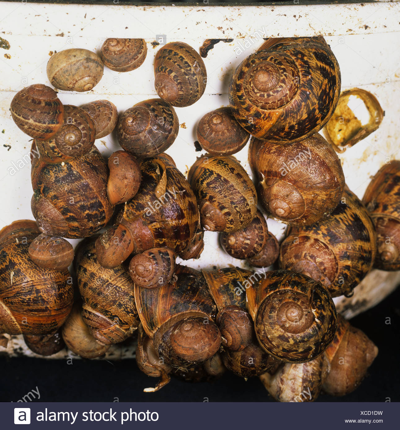 Garden snails Cornu aspersum of varying size hibernating in