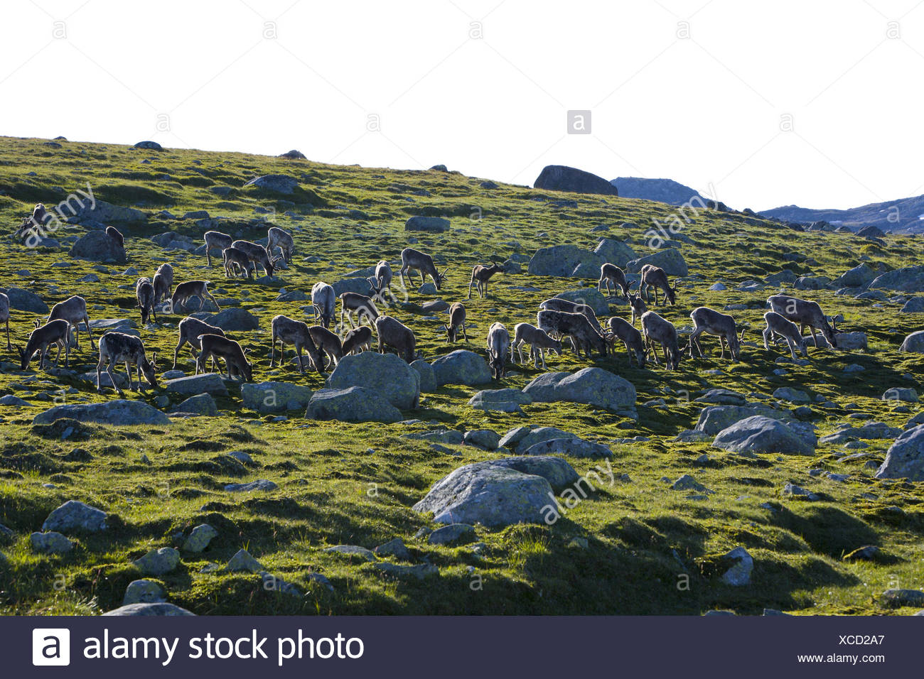 Reindeers, Valdresflya, Valdres, Jotunheimen, Oystre Slidre, Oppland, Norway, Scandinavia, - Stock Image