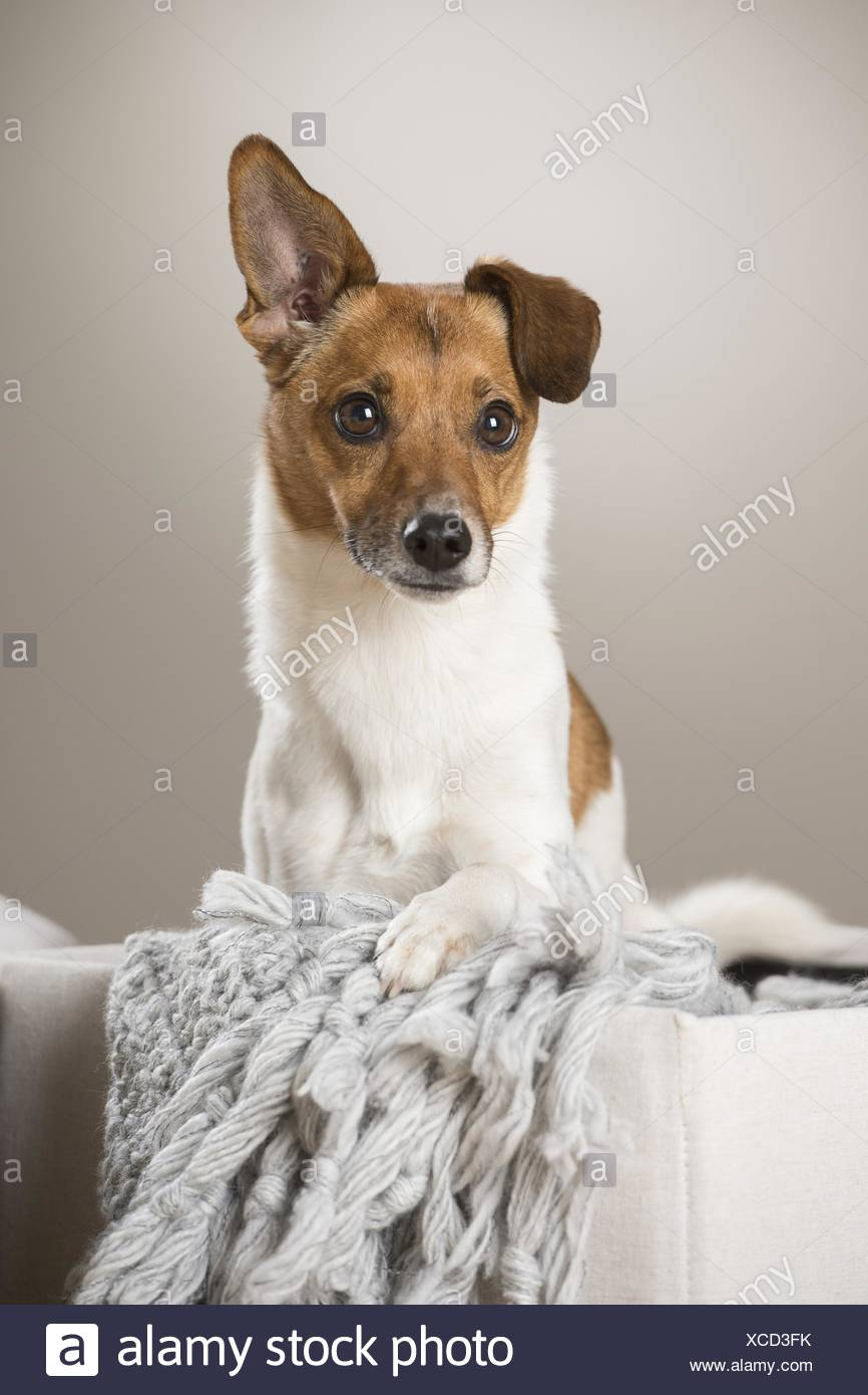 Funky Wire Fox Terrier Chihuahua Mix Illustration - Electrical ...