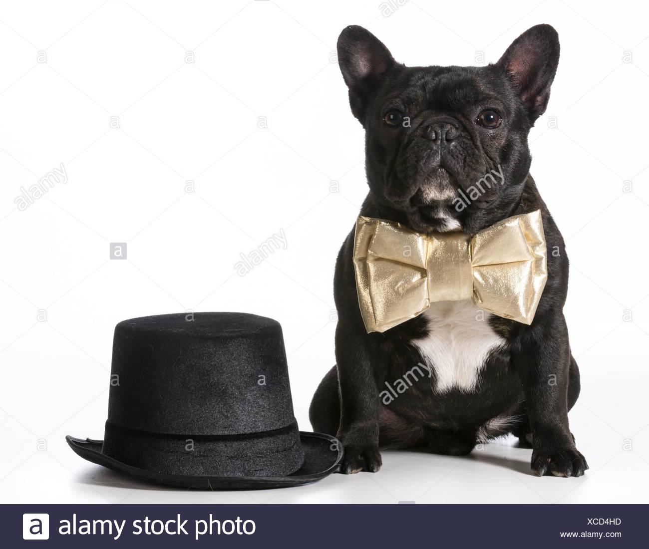 2e6883b8cc0 French Bulldog Bow Tie Stock Photos   French Bulldog Bow Tie Stock ...