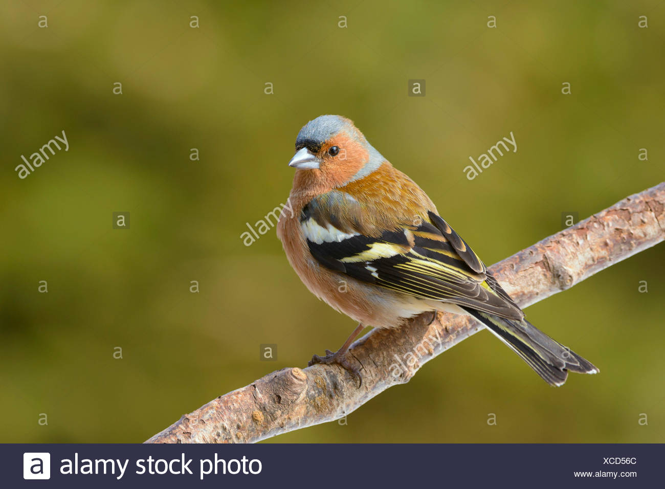 Chaffinch (Fringilla coelebs) on tree branch, Thuringian Forest, Thuringia, Germany - Stock Image