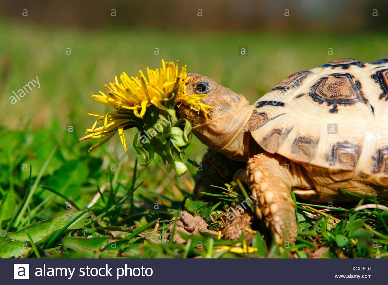 Leopard Tortoise - Stock Image