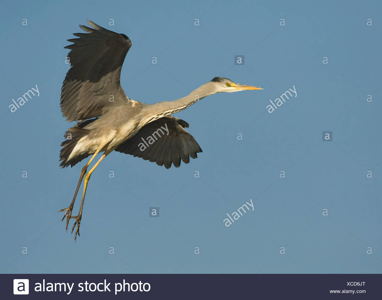 Close up of Grey Heron in flight, Marievale Bird Sanctuary, South Africa - Stock Image