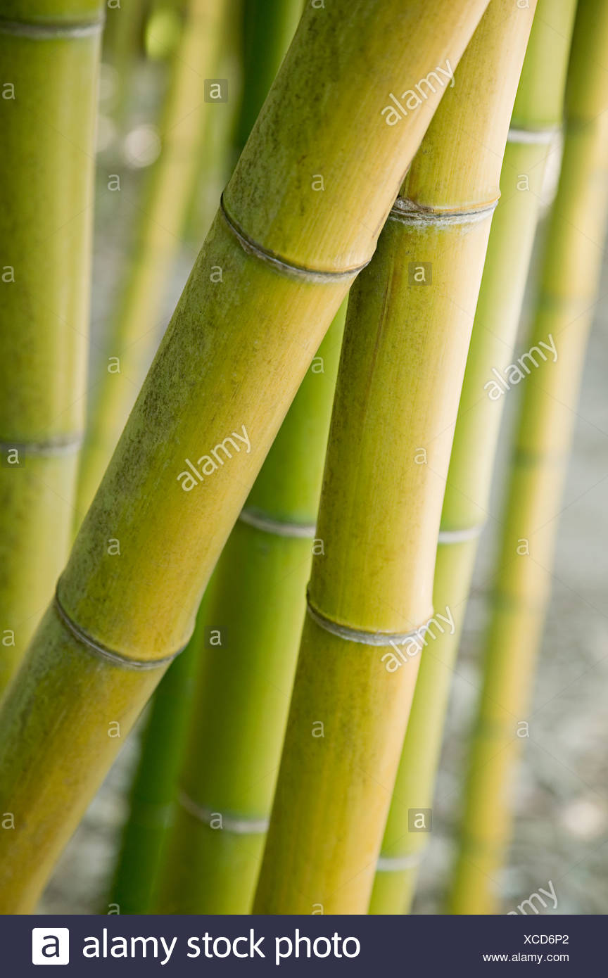Bamboo plant - Stock Image