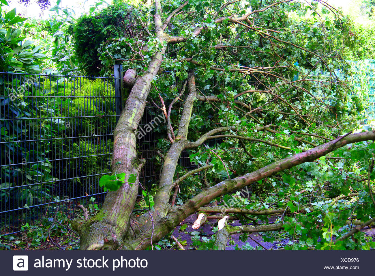 fallen trunk of a maple had demolished an iron fence, storm front Ela at 2014-06-09, Germany, North Rhine-Westphalia, Ruhr Area, Essen - Stock Image