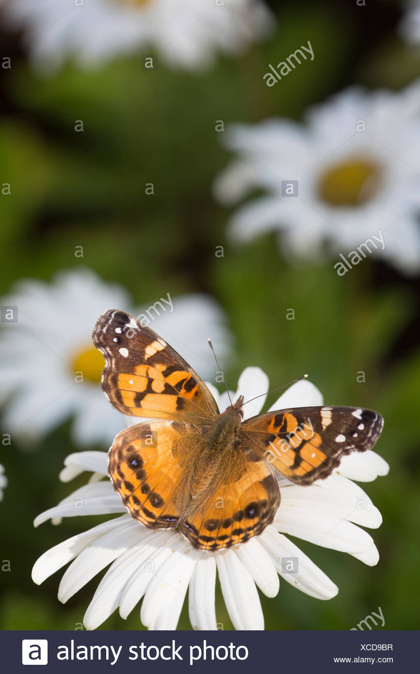 Painted lady butterfly (Vanessa cardui) on Montauk Daisy, Madison, Connecticut, USA. - Stock Image