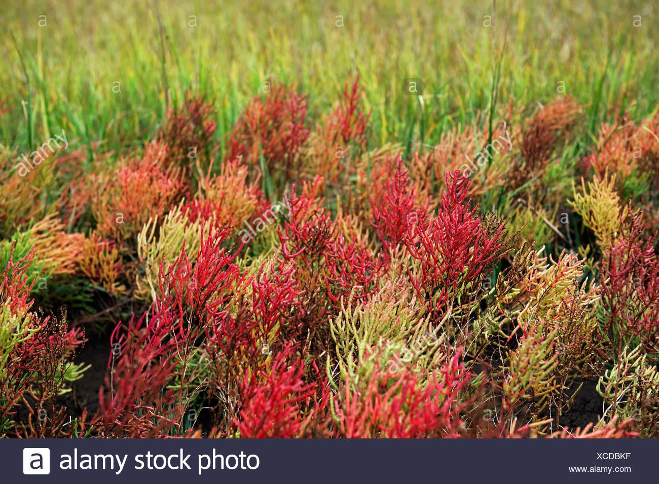 Perennial glasswort Salicornia perennis Cape Cod MA USA - Stock Image